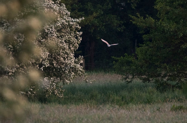 Barn Owl hunting over a meadow at dusk