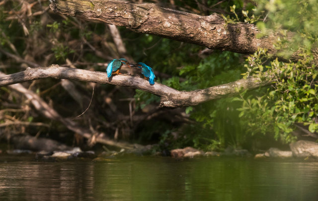 Kingfishers courtship feeding. Female (left) accepting fish from male.