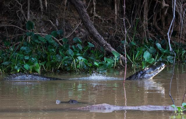 Yacare Caiman performing mating display