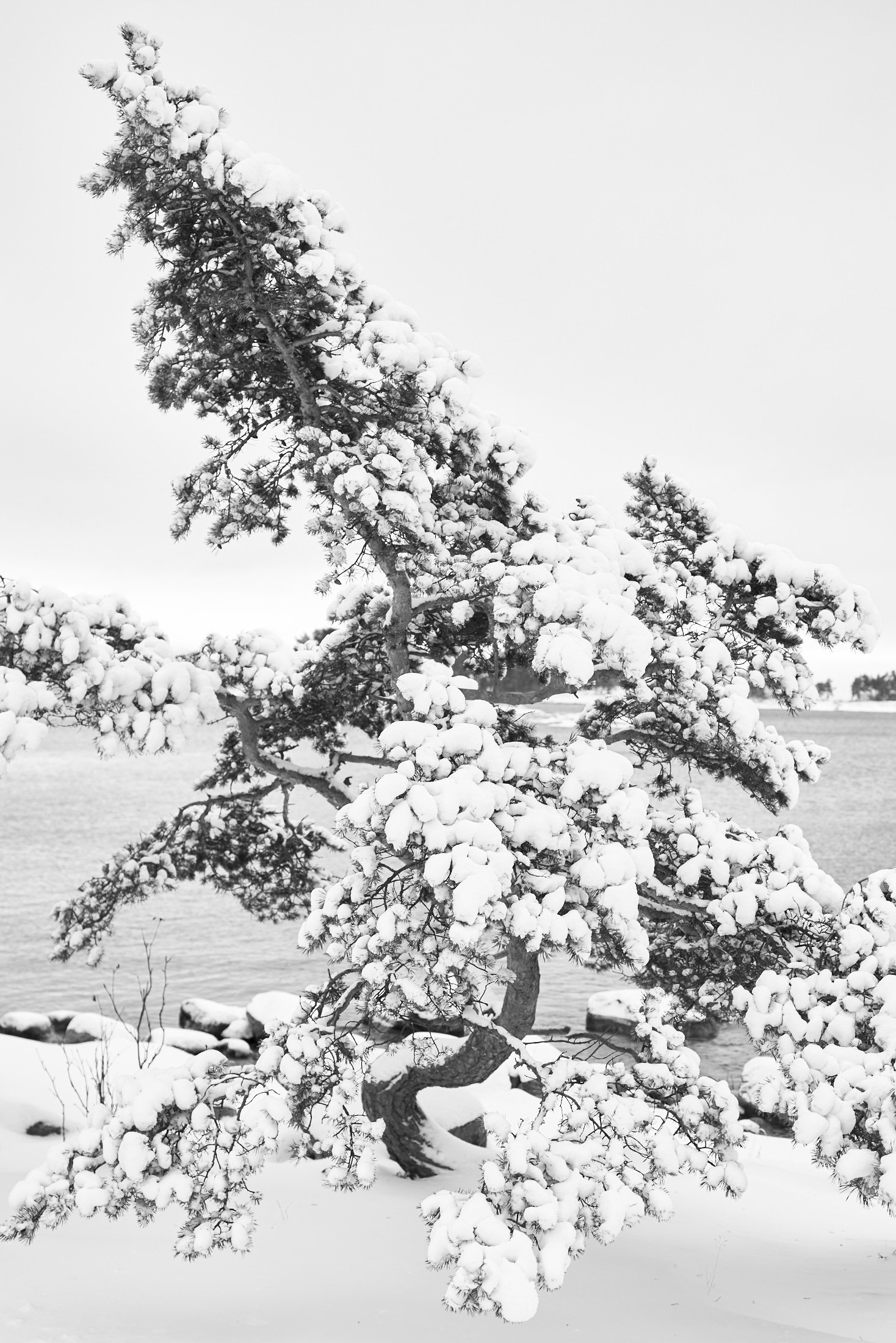 Halonen Pine Tree