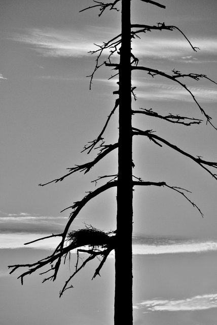 Tree-30bw.jpg