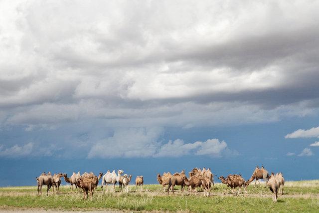 Gobi Camels