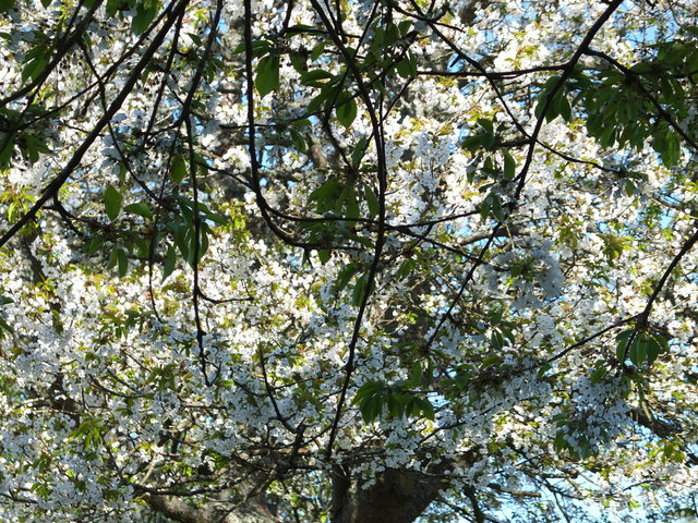 White Blossom 5 by Alison Gracie
