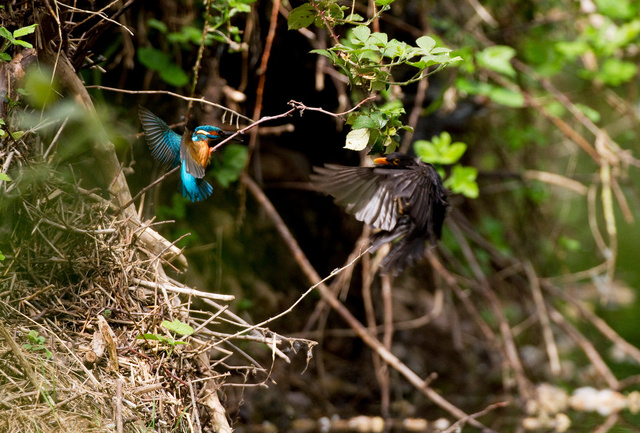 Kingfisher and blackbird