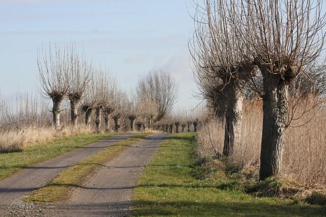 Pollard Willow (knotwilg)