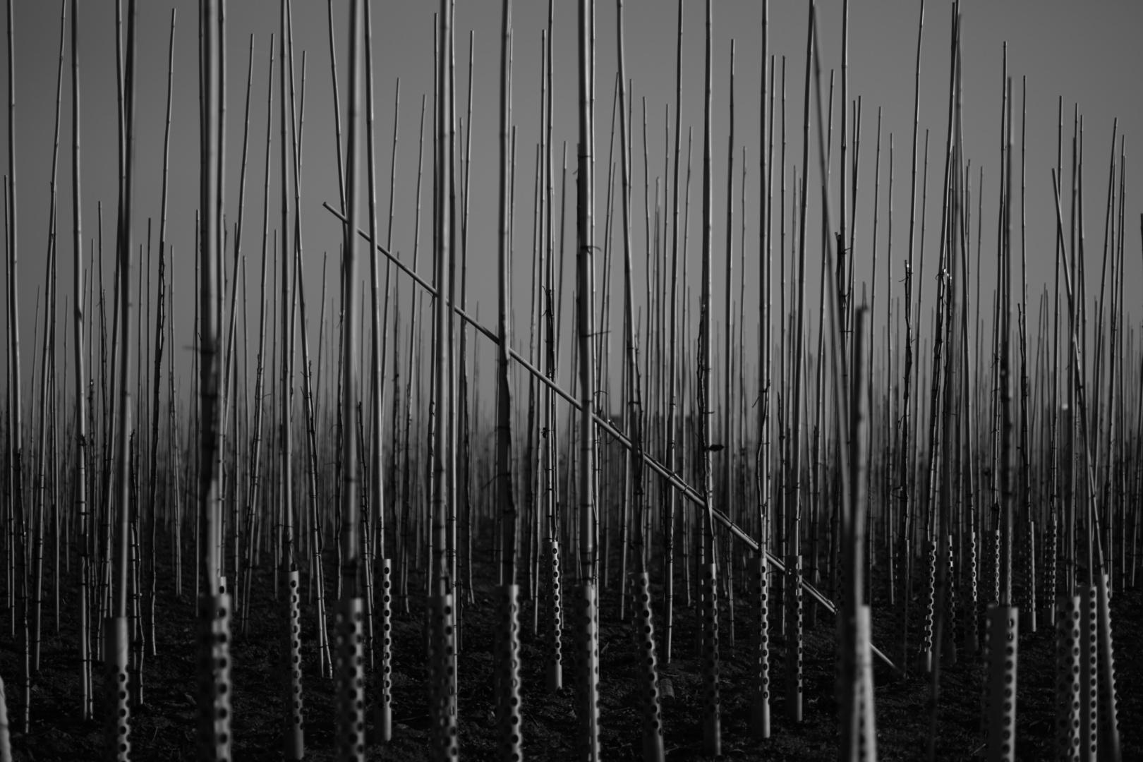 Bambus. Heer.