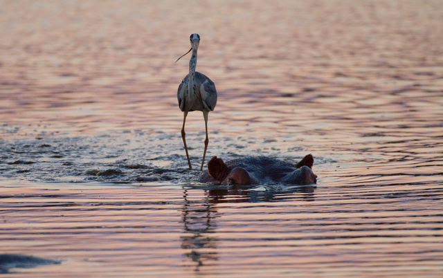 Grey heron riding on hippo