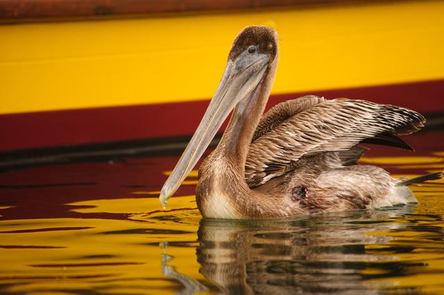 Pelican, Half Moon Bay, Caifornia