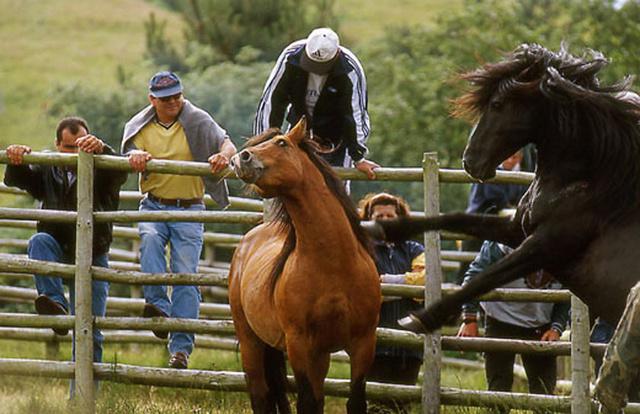 """""""Curros"""", rassemblement de chevaux sauvages près de Viveiro"""