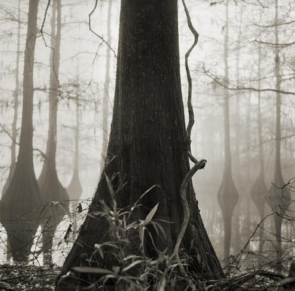 cypress_splay.jpg