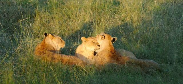 Small Pride of Lions, Masai Mara