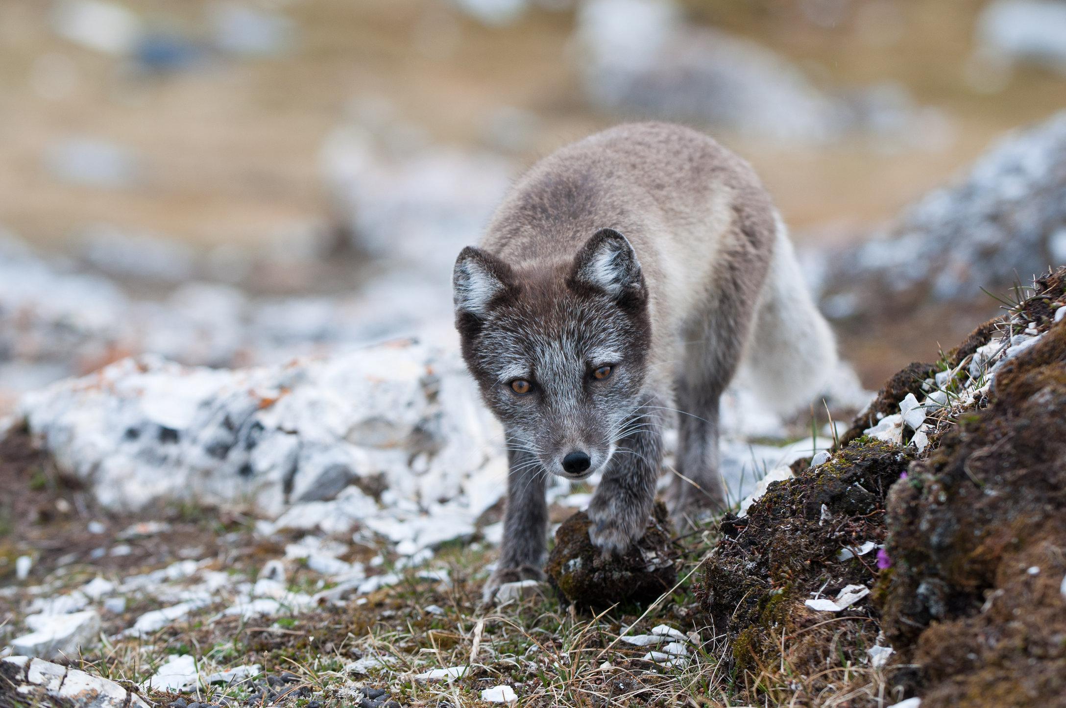 Arctic Fox #2- Alkhornet, Svalbard.jpg