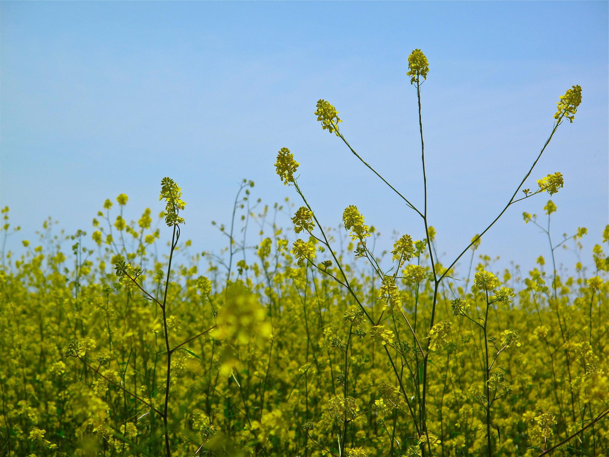 Mustard Flower Field, Palos Verdes