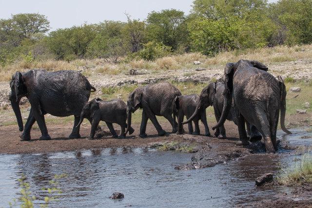 Namibian Elephant (Loxodanta africana)