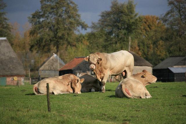 koeien bij marle