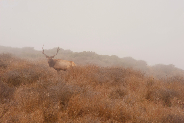 Tutle Elk, Point Reyes, California