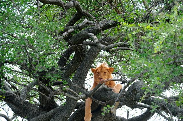 Rare Tree Lioness, Masai Mara