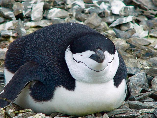 Chinstrap Penguin,Half Moon Island, Antarctica