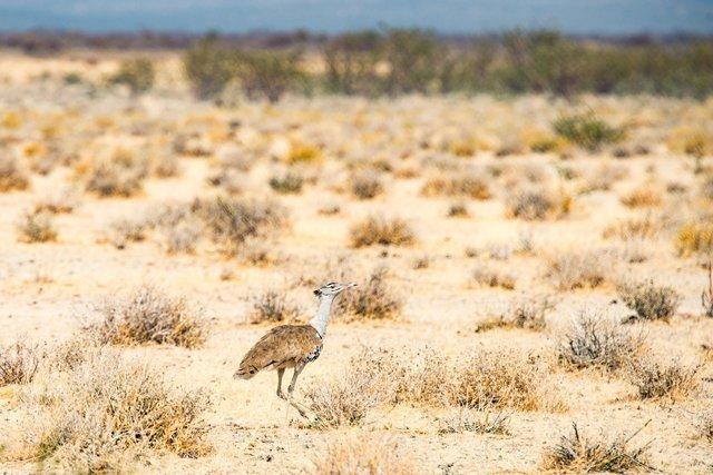 Kori Bustard, Namibia