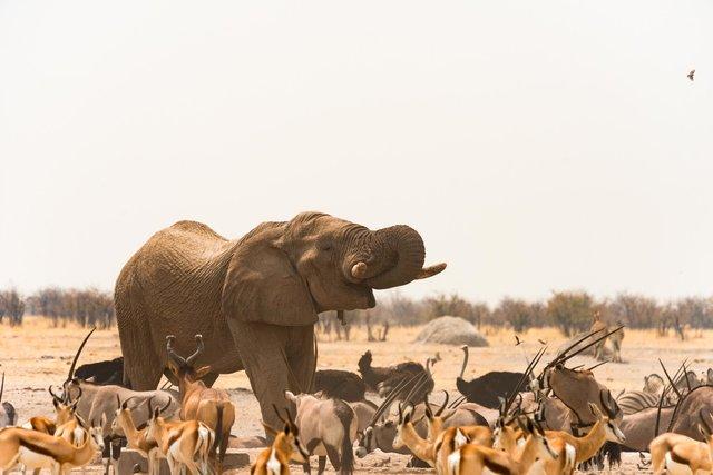 Elephant, Namibia