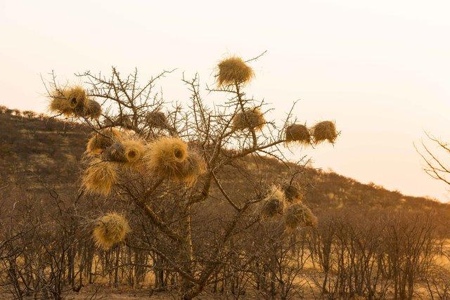 Weaver Nsst, Namibia