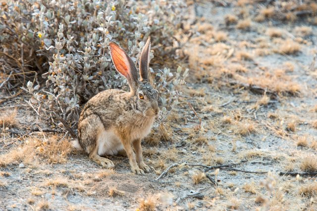 Cape Hare, Namibia