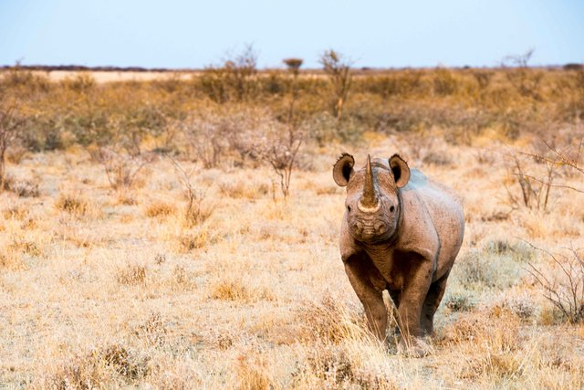 Black Rhinoceros,Namibia