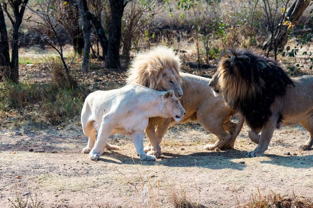 Lions, two blonds