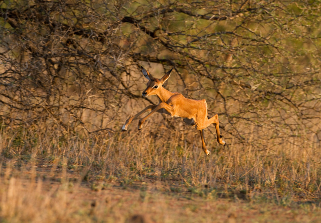 Young impala leaping