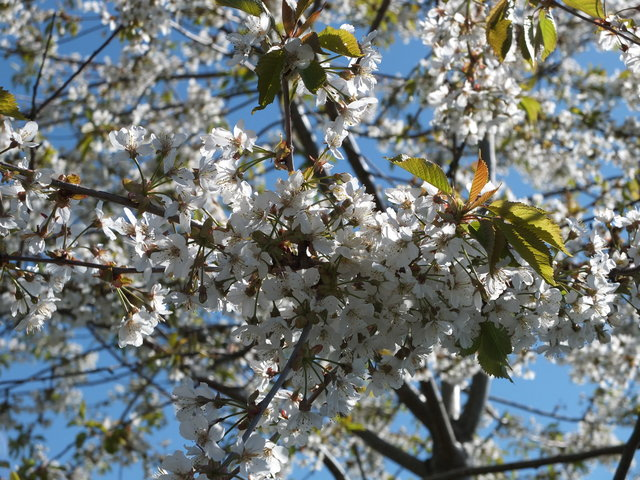 White Blossom 7 by Alison Gracie