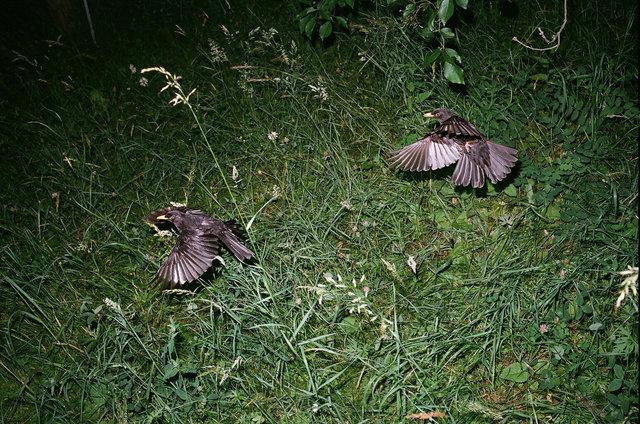 birds fighting, Berlin-Dahlem, 2014.jpg