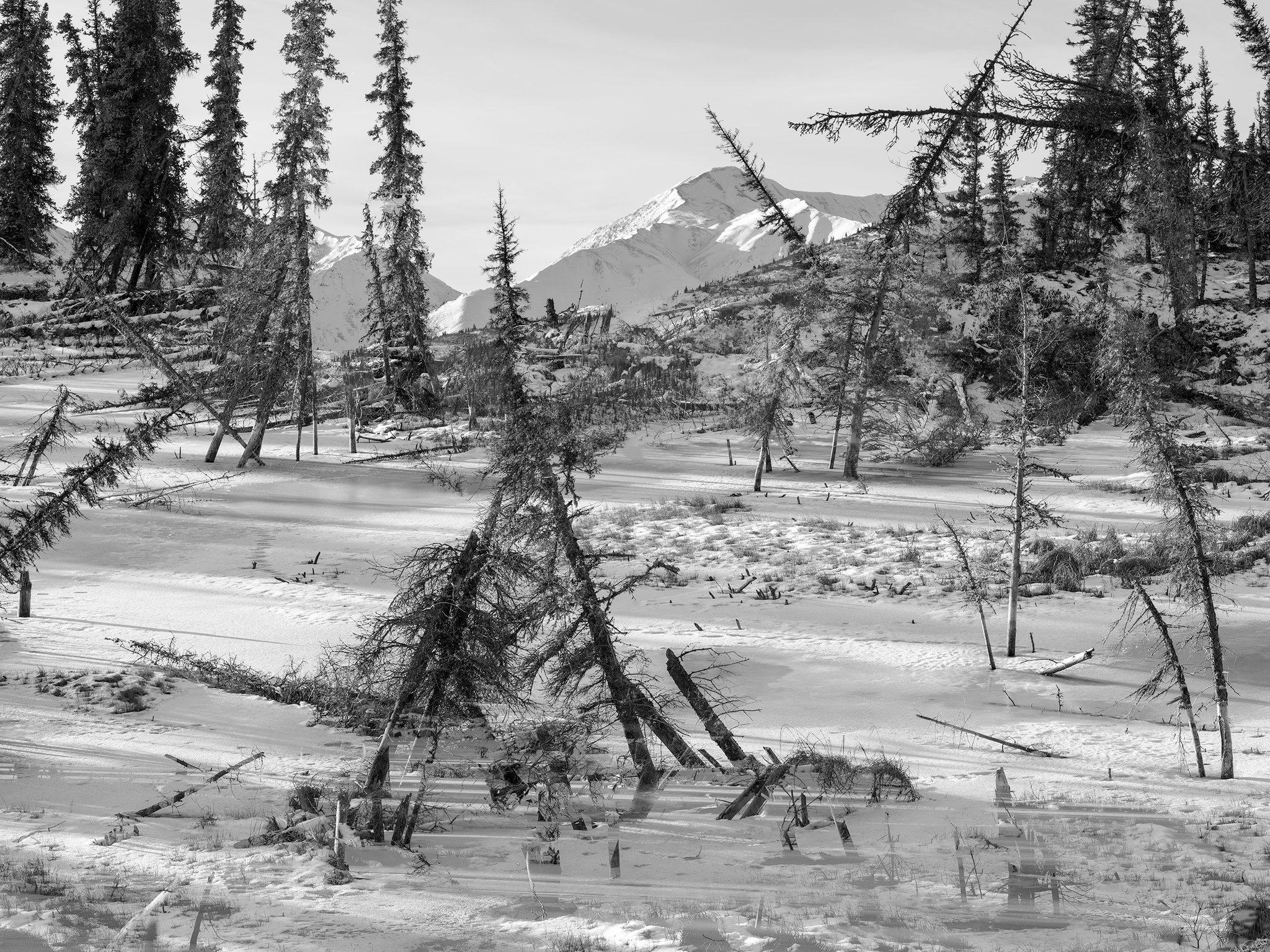 Drunken trees, Alaska 2017