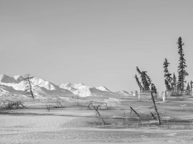Drunken trees on thermokarst lake, Alaska, 2017