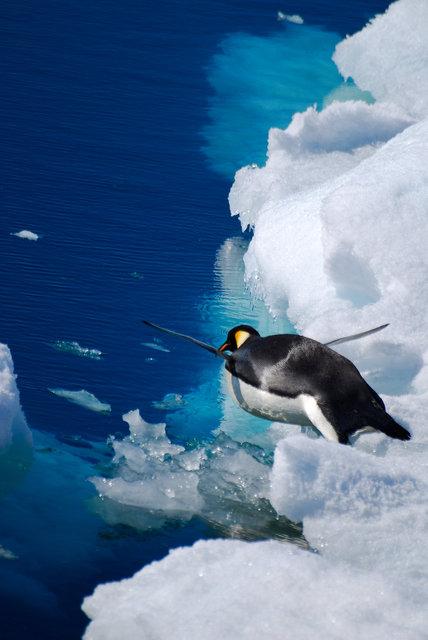 Emperor Penguin-Weddell Sea, Antarctica.jpg