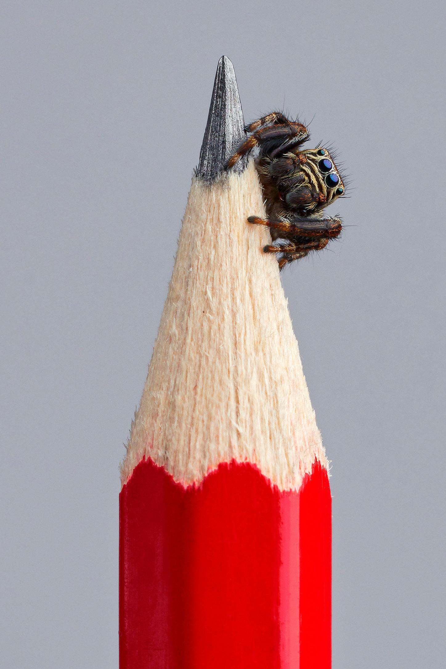 web_Jumping spider-1.jpg