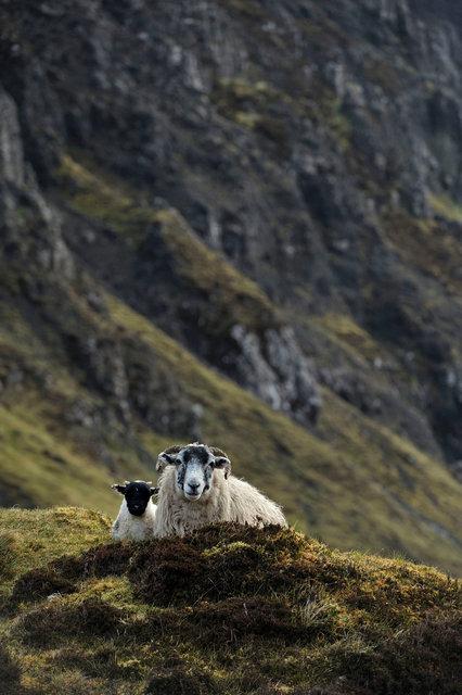 Moutons des Quiraing, île de Skye