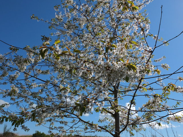 White Blossom 6 by Alison Gracie