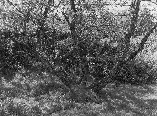 Trees   Niboban  ME.jpg