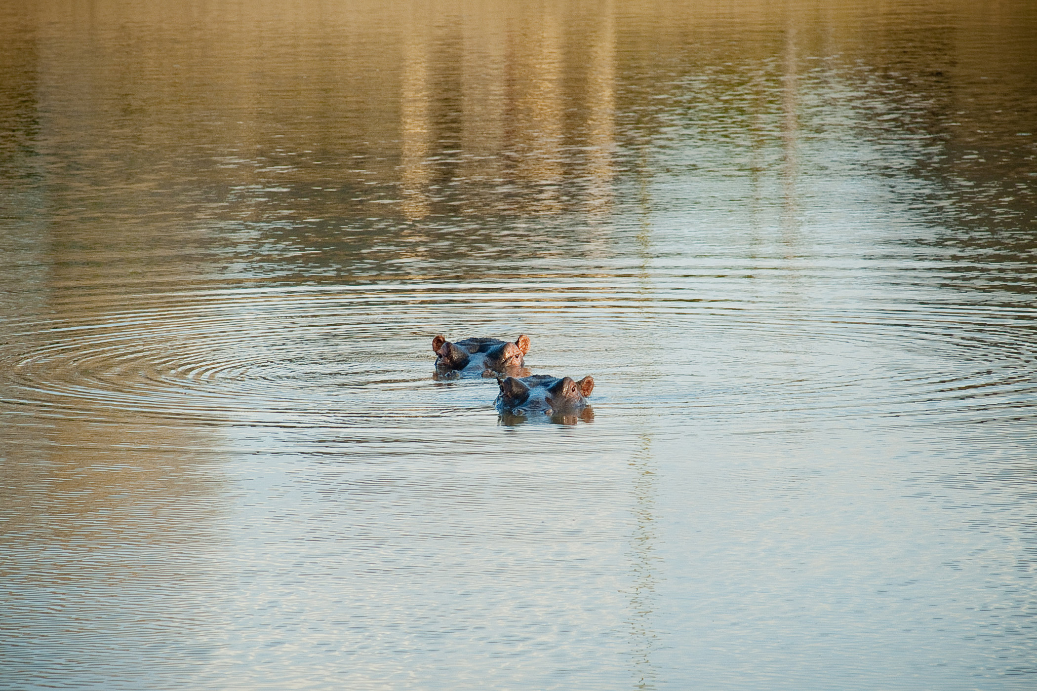Duo Hippo