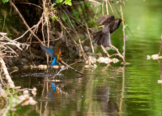 Kingfisher and blackbird