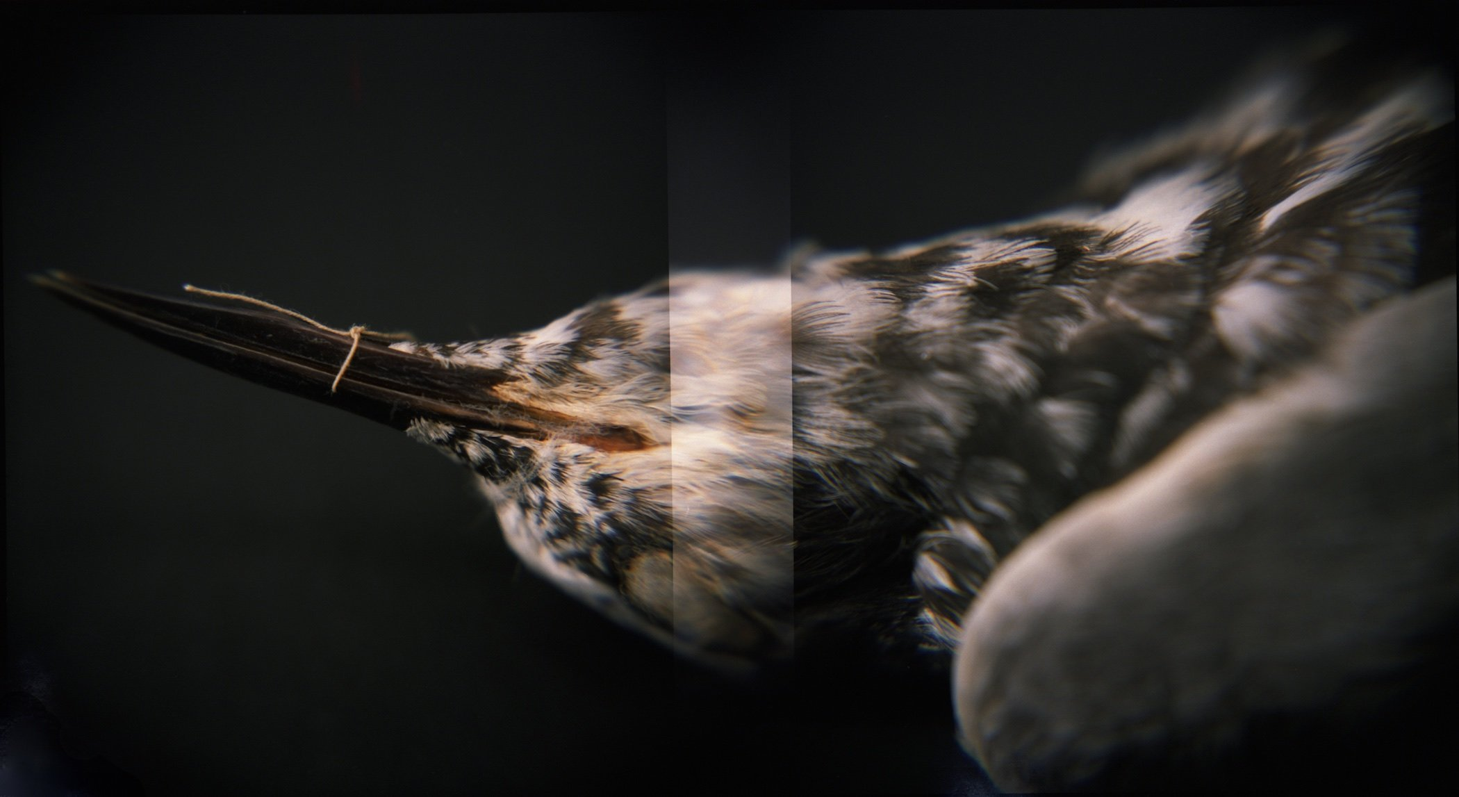 Black Tern (<i>Chlidonias niger surinamensis</i>), Holga 120N, Fuji Pro 400H, 2015