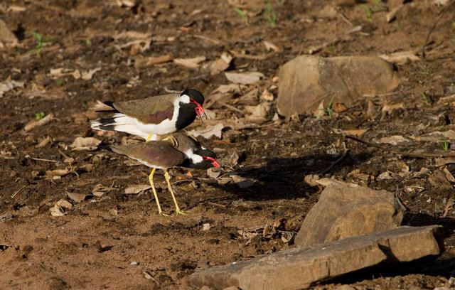 Red-wattled Lapwings mating
