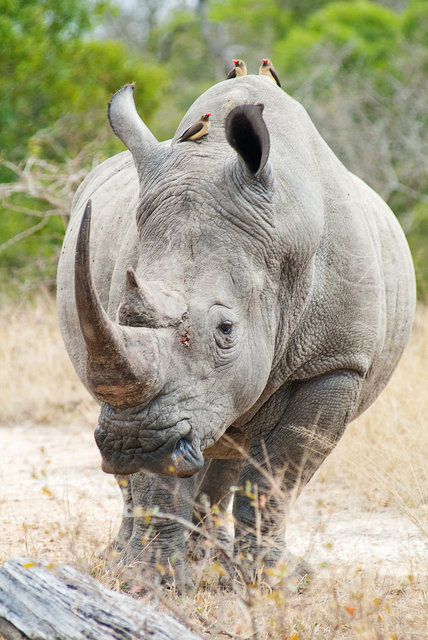 Rhino with Friends