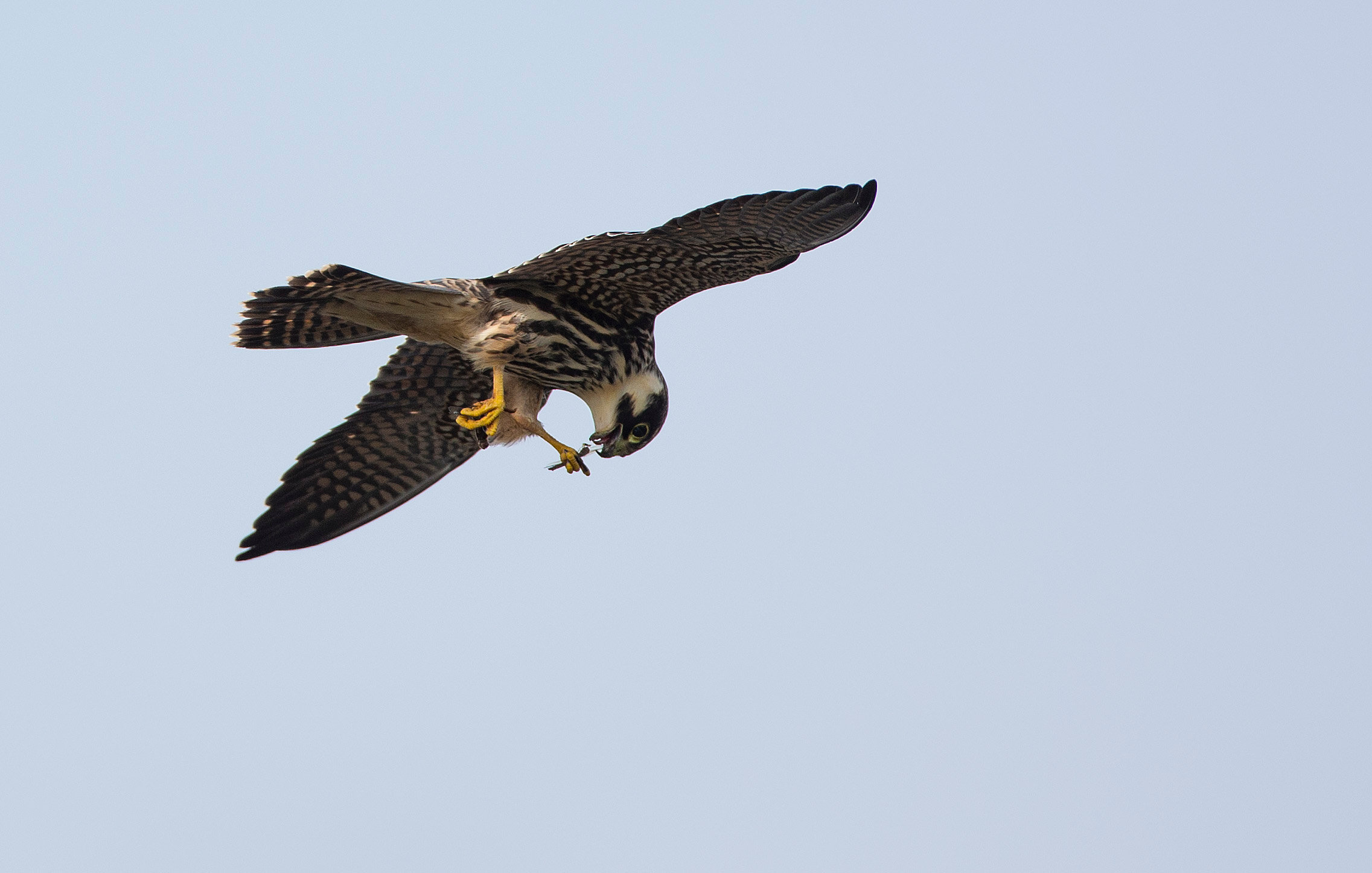 Hobby eating dragonflies