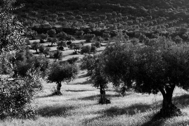 Champ d'oliviers près de Zafra, Estremadure