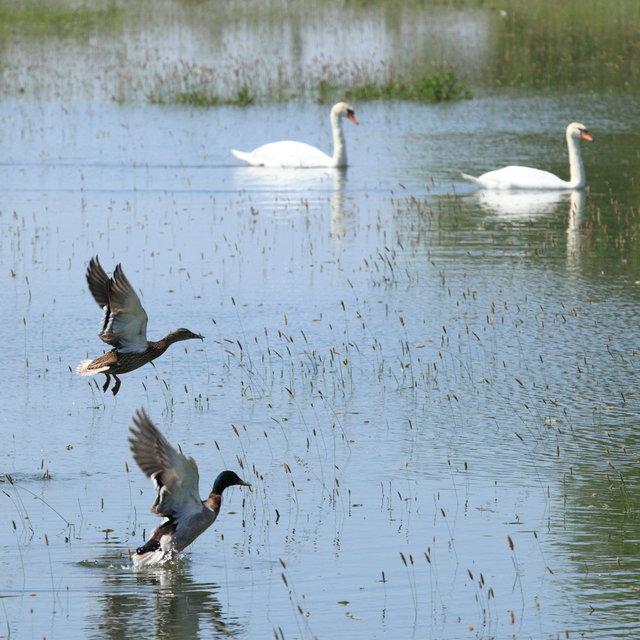 zwanen en eenden