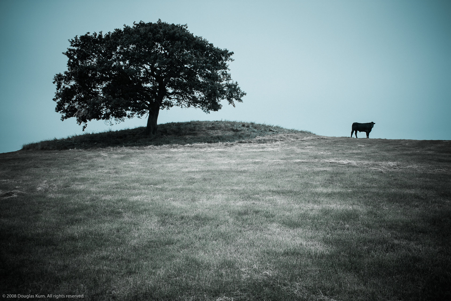Tree and cow, Denbighshire