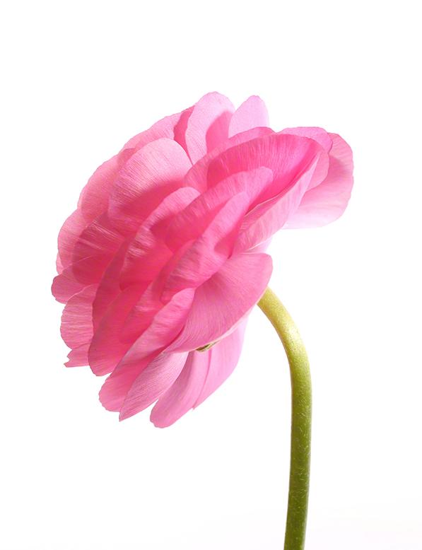 Pink 05 - Pink Profile