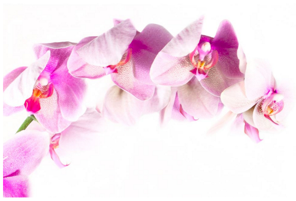 Orchids In Pink, ORC 001