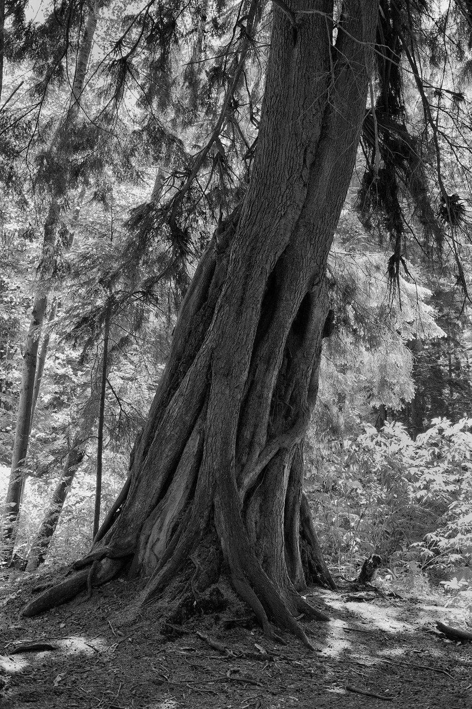 Tree-bw83.jpg